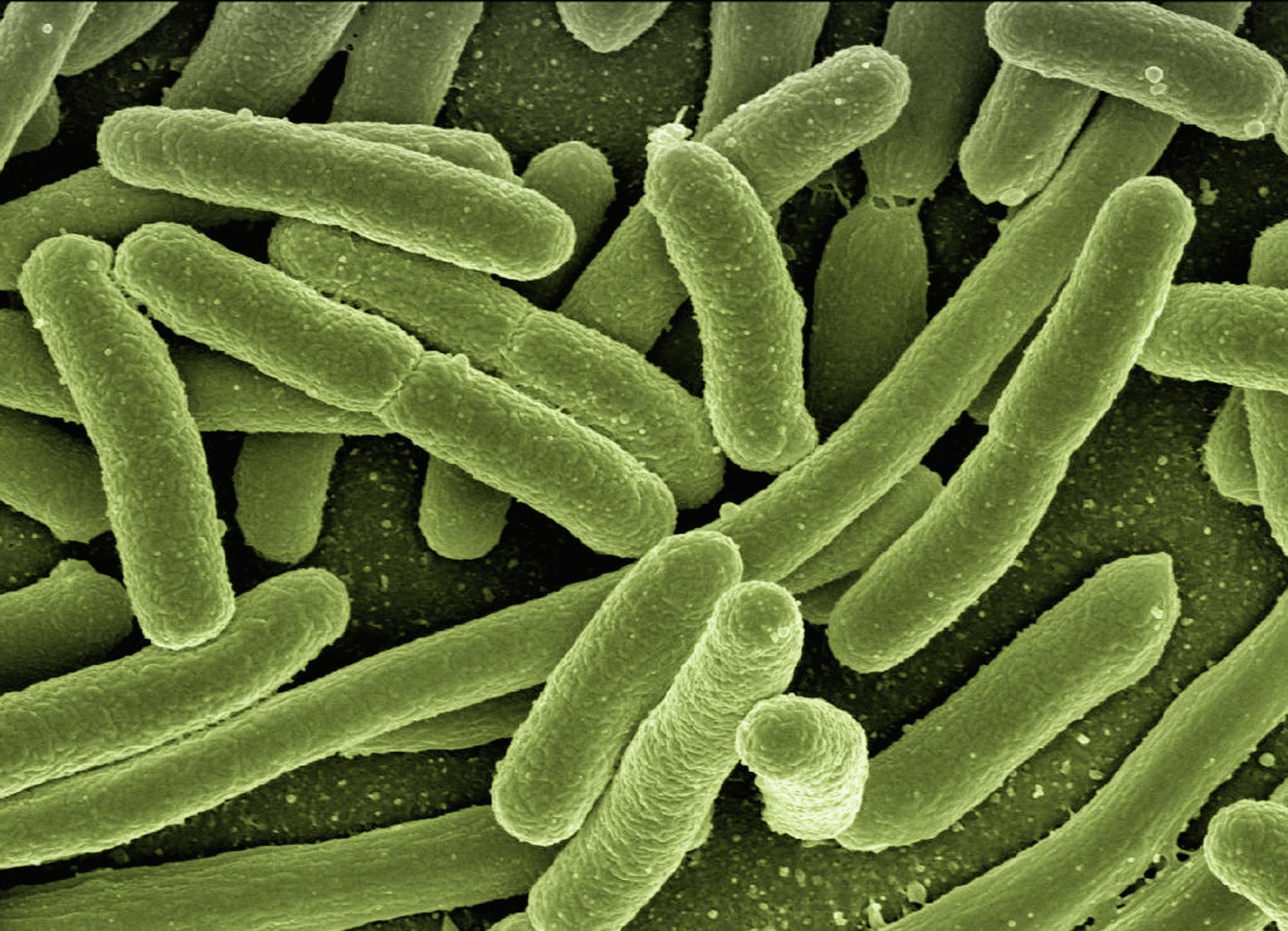bacterias-intestinales-koli-bacteria
